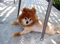 Pomeranian and shibu inu mix