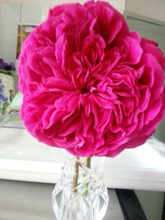 beautiful rose from my garden-the name is Fatherly Love