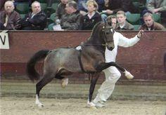 Hackney Pony stallion Noble Rebel