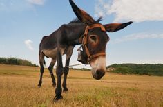 A Problem With the Donkey-Adult