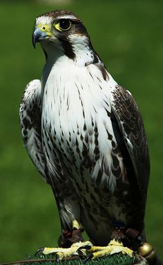 The Lanner Falcon (Falco biarmicus[3]) is a large bird of prey that breeds in Africa, southeast Europe and just into Asia.