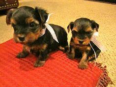 My yorkie puppies!