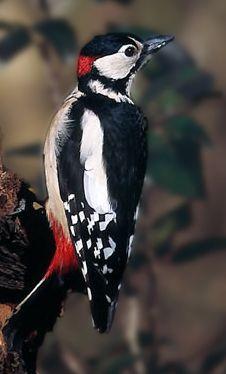 Pica-pau-malhado-grande, macho