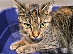 MAGENTA - 17071 - - Brooklyn  *** TO BE DESTROYED 01/13/18 *** MAGENTA is very upset at being in the shelter and needs a furever home asap! -  Click for info & Current Status: http://nyccats.urgentpodr.org/magenta-17071/