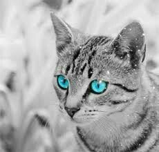 This is my oc for warriors a gray tabby has ice blue eyes paws are wite so is he enderbelly and  the tip of the tail her name is moonpaw she is 7moons old