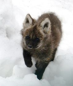 Maned wolf pups have been welcomed into the Zoo Liberec in the Czech Republic for the first time in history. So cute and so fluffy!