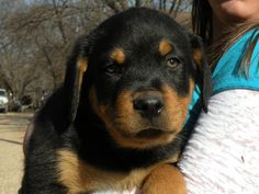 German Shepherd & Rottweiler Breeder - Blum, TX