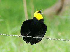 Aves venezolanas:  Turpial de agua