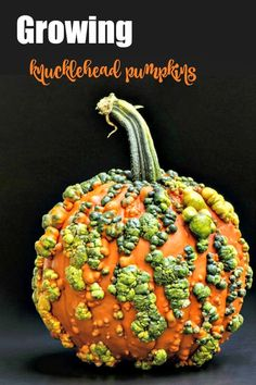 Knucklehead pumpkins are bred especially to be covered in warts. They are all the rage in decorating right now. Find out how to grow them and why they have these warts on The Gardening Cook. #wartypumpkins #knuckleheadpumpkins #growingpumpkins #vegetablegardening #bumpypumpkins Pumpkin Chili, A Pumpkin, Pumpkin Carving, Types Of Pumpkins, Pumpkin Cookies, Thanksgiving Side Dishes, Warts, Painted Pumpkins, Pumpkin Decorating