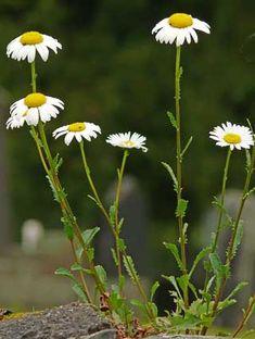 Päivänkakkara, Leucanthemum vulgare - Kukkakasvit - LuontoPortti Gras, Finland, Landscape Paintings, Wild Flowers, Natural Beauty, Flora, Daisy, Scenery, Wildlife