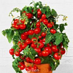 [Visit to Buy] Fresh Bonsai Tomato seeds Mini Cherry Potted Sweet Fruit Vegetable Organic -100 pcs/lot #Advertisement