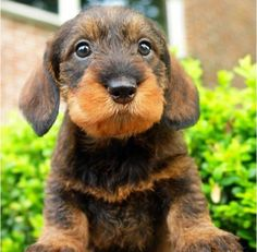 """Receive great suggestions on """"dachshund puppies"""". They are actually on call for you on our internet site. Weenie Dogs, Dachshund Puppies, Dachshund Love, Cute Puppies, Cute Dogs, Dogs And Puppies, Daschund, Doggies, Chihuahua Dogs"""