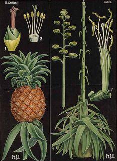 Botanical Pineapple Art Print by Blue Specs Studio - X-Small Nature Prints, Art Prints, Decoupage Plates, Pineapple Art, Typography Prints, Botanical Illustration, Botanical Prints, Vintage Decor, Artwork