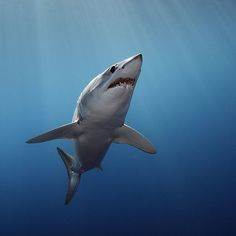 Photo by @BrianSkerry A Shortfin Mako Shark in New Zealand swims towards the surface in morning light. Makos are one of the fastest fish in the sea capable of bursts up to 60mph and of all shark species they have one of the largest brains relative to body size. The numbers of makos have declined worldwide due to over fishing and the demand for shark fins. They are currently listed as vulnerable.  Coverage from an upcoming @natgeo story about shortfin mako sharks. To see more sharks and ocean…