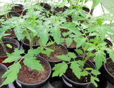 tomaten anbauen tomaten selber ziehen pflanzen tomaten pflanzen und anleitungen. Black Bedroom Furniture Sets. Home Design Ideas