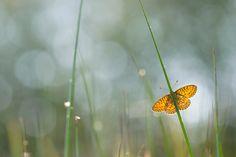 Vlinders fotograferen | Bart Heirweg Landschapsfotografie