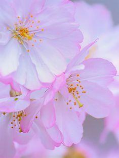 Cherry Blossoms Wallpaper - Branch Brook Park