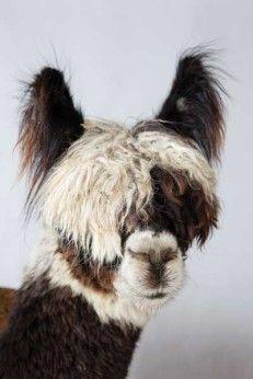 The Definitive Guide to Raising Alpacas - http://modernfarmer.com/?p=39758&utm_source=PN&utm_medium=Pinterest&utm_campaign=SNAP%2Bfrom%2BModern+Farmer
