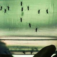 OMS alerta que la mitad de la población mundial convive ya con el mosquito del zika que se expandirá cada vez más