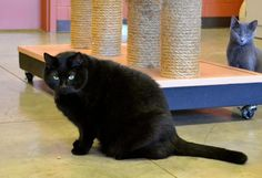 Meet Wookie, a Petfinder adoptable Domestic Medium Hair-black Cat | Elizabethtown, KY | Wookie is a 9-year-old neutered male who is looking for a personal trainer. This sweet boy enjoys...