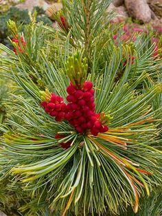 Conifer color on Pinus pumila 'Dwarf Blue'. Male cones before maturity.