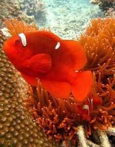 Maroon Clown Fish (Premnas biaculeatus) native to the Great Barrier Reef as well as Indonesia. Underwater Creatures, Underwater Life, Ocean Creatures, Beautiful Sea Creatures, Animals Beautiful, Colorful Fish, Tropical Fish, Aquariums, Fauna Marina