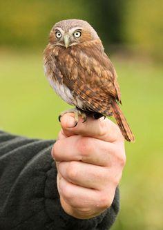 Ferruginous Pygmy Owl! via Trevor Hill Birds and Animals