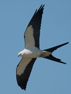 American Swallow-Tailed Kite...one of our favorite birds to look out for here in TX