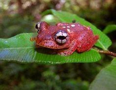 Forscher haben in den vergangenen elf Jahren über 600 Arten auf Madagaskar entdeckt, darunter den Frosch Boophis pyrrhus.