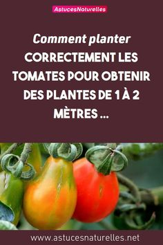 Comment planter correctement les tomates pour obtenir des plantes de 1 à 2 mètres ... #Jardinage#CultiverLesTomates#Conseils#MéthodesPratiques#PlanterCorrectement#PlantesHautes Culture Tomate, Fried Green Tomatoes, Stuffed Peppers, Vegetables, Food, Gardening, Nature, Diy, Ideas