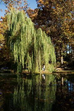 weeping willows = my heart on a platter