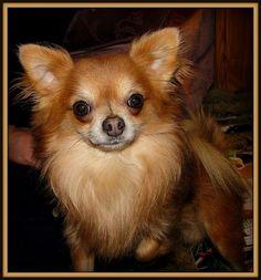 Chestnut Chihuahua Long Coat