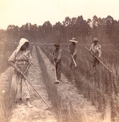 African American | African Americans working in rice field, circa 1880