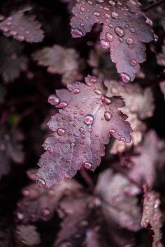 Dark leaves with dew drops. Dew Drops, Rain Drops, Plum Purple, Purple Rain, Burgundy, Plum Colour, Eggplant Color, Magenta, Foto Macro