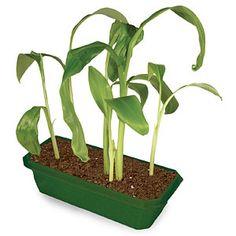 Grow Your Own Banana Tree