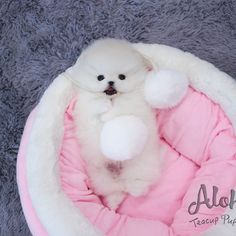 Mini Pomeranian, Teacup Puppies For Sale, Bear Face, Tea Cups, Teddy Bear, Clouds, Teddy Bears, Tea Cup, Teddybear