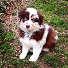 Red Merle miniature Australian shepherd