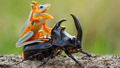 De Indonesische fotograaf in opleidingHendy Lieheeft een geniale fotoserie gemaakt van een Maleise vliegende boomkikker en een neushoornkever. Of de neushoornkever er plezier aan beleefde is moeilijk van zijn gezicht af te lezen, maar de kikker genoot zichtbaar van het rodeospelletje dat ze...