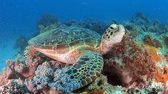 Dykking på Zanzibar #diving #seaturtle #corals #turtle