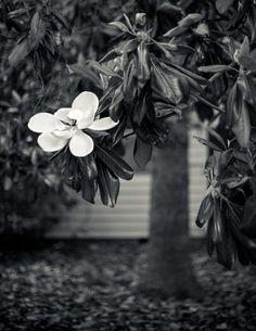 Magnolia tree. Someday I will have one.