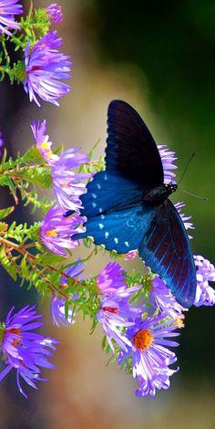 Beautiful blue swallowtail