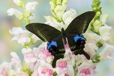 Asian Swallowtail Butterfly - Papilio krishna