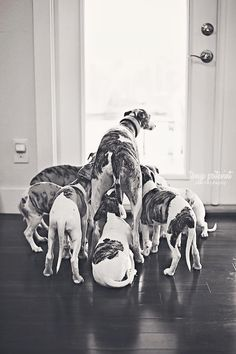 Whippet family  I Love Whippets and have missed my late Wings & Willow. They are such wonderful family pets - Margot