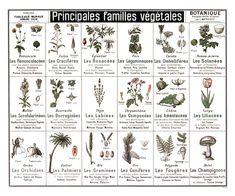 Tableau botanique : Principales familles végétales (Reproduction poster) - Jélidée