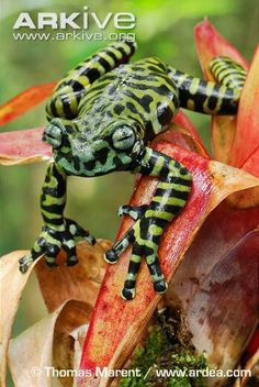 Tigertreefrog
