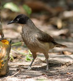 Blackcap Babbler - W. Africa, from Senegal to Cameroon