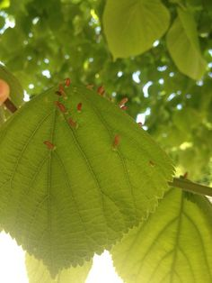 Bridget Wexman: Growth, pink growths on leaves