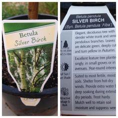 Betula Pendula, Plant Labels, Deciduous Trees, Fertility, Garden Plants, Birch, Delicate, Herbs, Tags