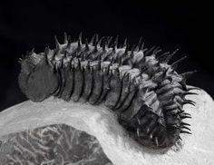 Trilobite fossil, Drotops armatus