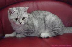 Ilton, chaton british shorthair de 4,5 mois à adopter. Crédit photo : Bernadette Capparos